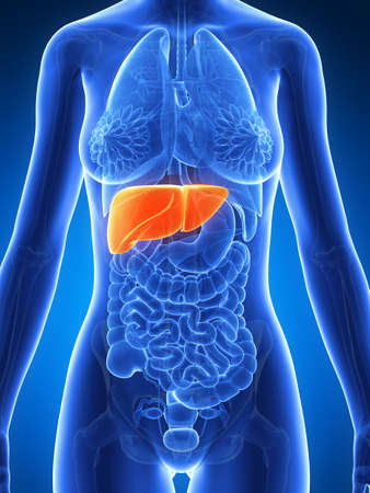 3d rendered illustration of the female anatomy - liver Stock Illustration - 19040730