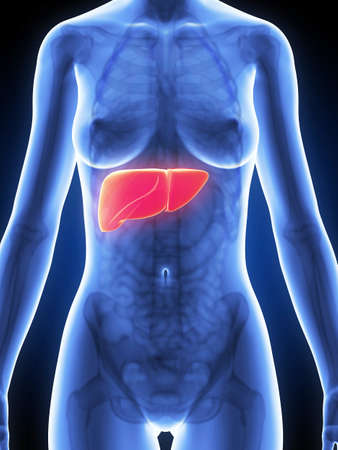liver cirrhosis: 3d rendered illustration of the female anatomy - liver