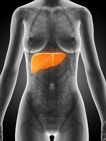 3d rendered illustration of the female anatomy - liver illustration
