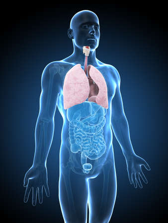 3d human: 3d rendered illustration of a lung
