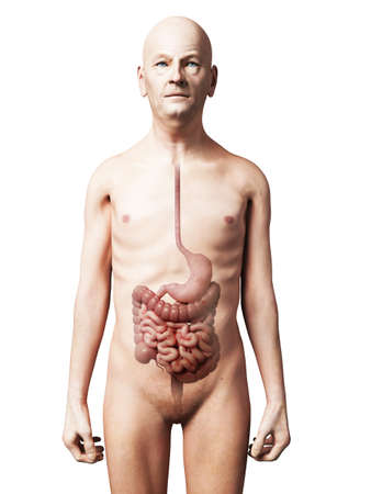naked male body: 3d rendered illustration of an old man - digestive system Stock Photo