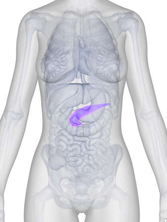 3d rendered illustration of the female anatomy - pancreas Stock Illustration - 19040130