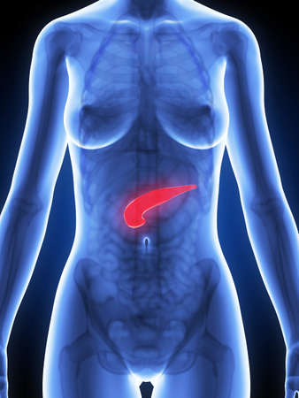 3d rendered illustration of the female anatomy - pancreas Stock Illustration - 19040640