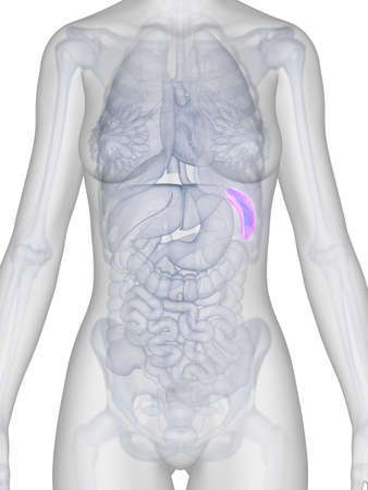 3d rendered illustration of the female spleen Stock Illustration - 19040147