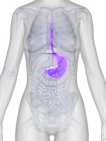 gullet: 3d rendered illustration of the female stomach
