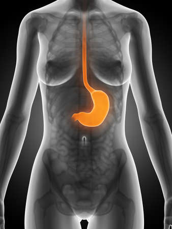 3d rendered illustration of the female stomach illustration