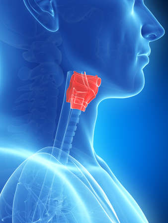3d rendered illustration of the larynx anatomy