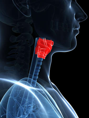 vestibular: 3d rendered illustration of the larynx anatomy
