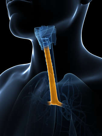 trachea: 3d rendered illustration of the trachea