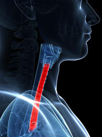 3d rendered illustration of the trachea illustration