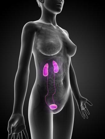 uretra: 3d rindió la ilustración de la mujer del riñón Foto de archivo