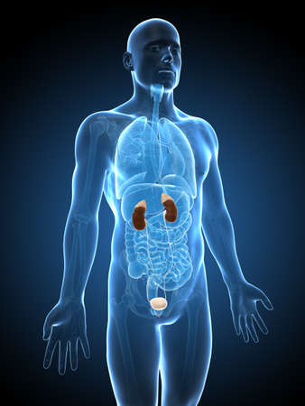urinary: 3d rendered illustration of the urinary system