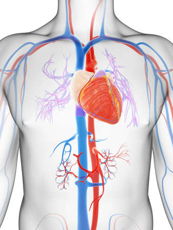 vena: 3d rendered illustration of the male vascular system