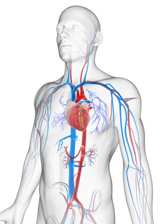 anatomy heart: 3d rendered illustration of the male vascular system