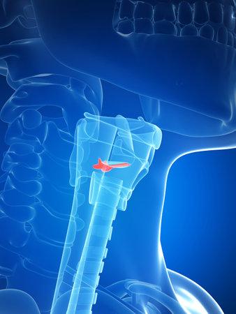 larynx: 3d rendered illustration of the larynx anatomy - vocal chords