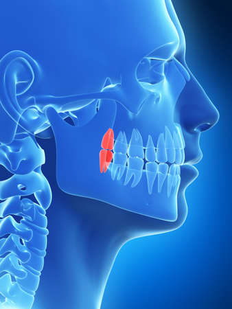 3d rendered illustration of the wisdom teeth Stock Photo