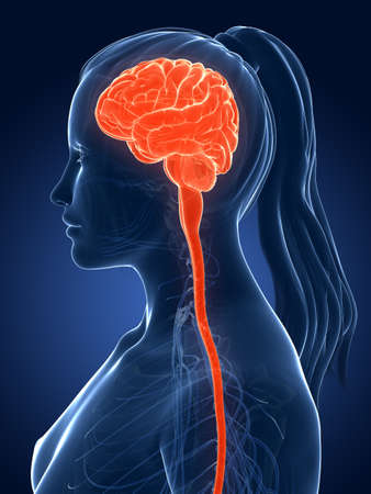 3d rendered medical illustration - female brain