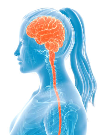 3d teruggegeven medische illustratie - vrouwelijk brein