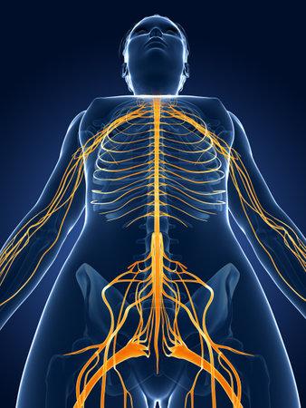 3d rendered medical illustration -female  nerve system Stok Fotoğraf