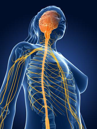 3d teruggegeven medische illustratie - vrouwelijk zenuwen Stockfoto