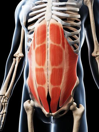 腹部の筋肉の 3 d レンダリングされた図