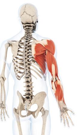 Illustrazione di rendering 3D del braccio muscolatura