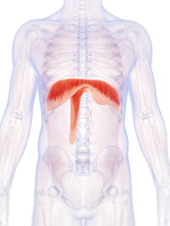 Illustration de rendu 3D de la membrane de l'homme