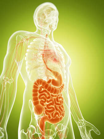 3d rendered illustration of the digestive system