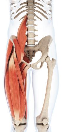 Illustrazione di rendering 3D della muscolatura della coscia Archivio Fotografico - 22616075