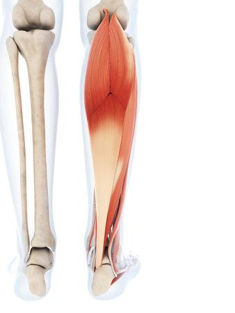下腿筋の 3 d レンダリングされたイラストレーション