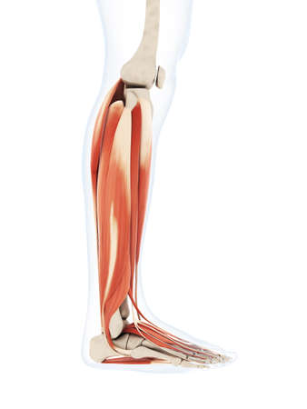 3d rendered illustration of the lower leg muscles Banco de Imagens