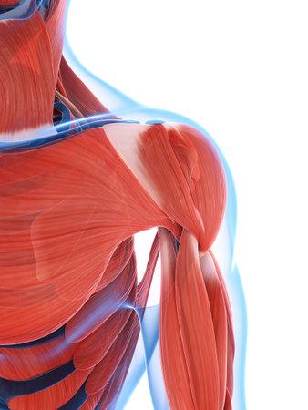 3d gerenderten Darstellung des männlichen Muskulatur
