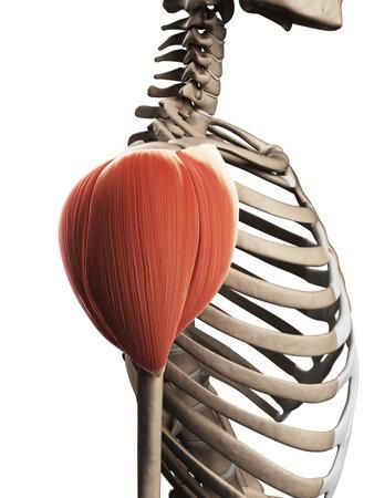 3d rendered illustration of the shoulder muscle