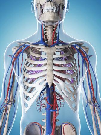 男性の骨格、血管系の 3 d レンダリングされたイラストレーション 写真素材