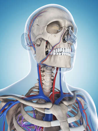 3d rendered illustration of the male skeleton and vascular system
