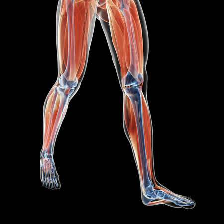3d rendered illustration of the leg muscles Stock Photo