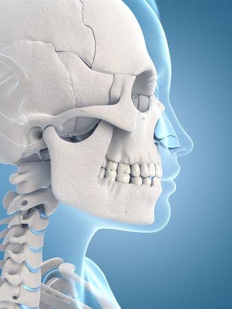 medische illustratie van de schedel en de nek
