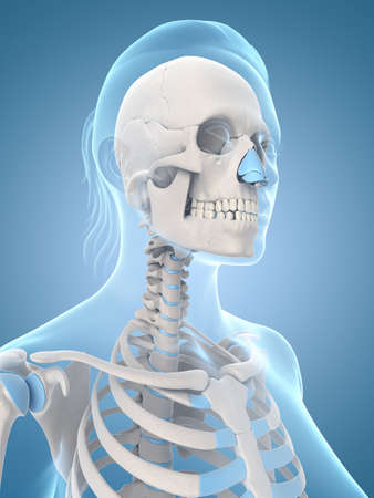 medical illustration of the skull and neck Stock Illustration - 22818624