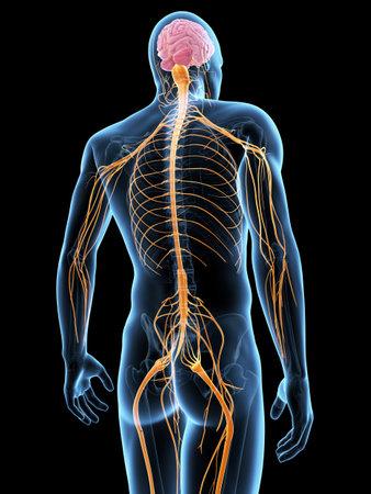 illustration médicale du système nerveux