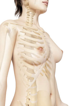 rendered illustration of the female thorax bones