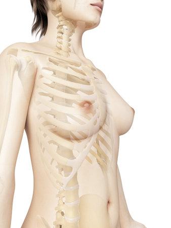 teruggegeven illustratie van de vrouwelijke thorax botten