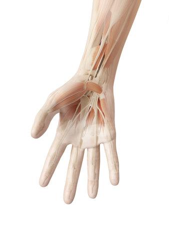anatomie van de menselijke hand