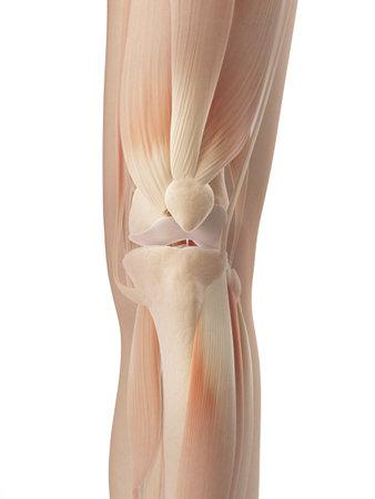 joint spieren knie Stockfoto