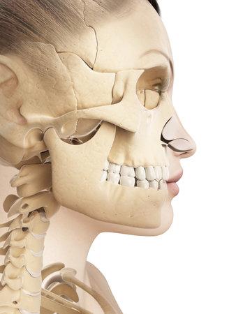 여성 두개골의 해부학 스톡 콘텐츠