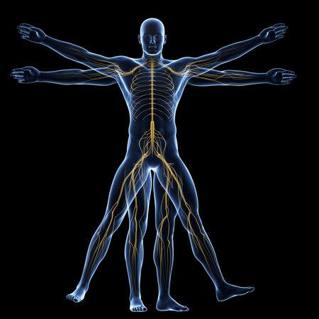 Uomo Vitruviano - sistema nervoso