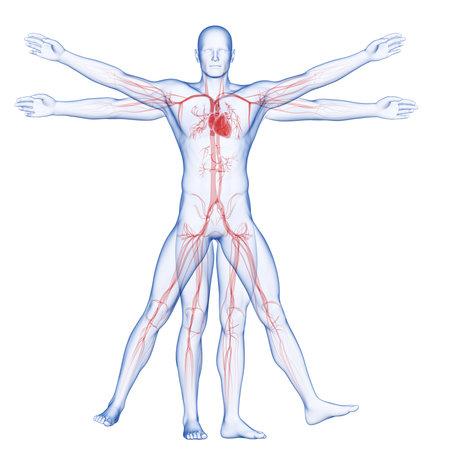 vitruvian man - vascular system Stock fotó