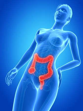 medical 3d illustration - female anatomy - colon Stock Illustration - 26686287