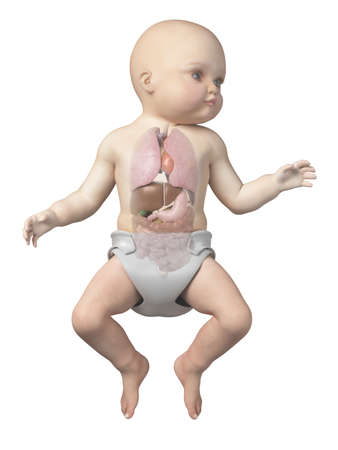 赤ちゃんの臓器を示す医療イラスト