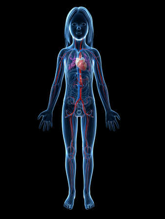 Anatomy Of A Young Girl Vascular System Stock Photo Picture And