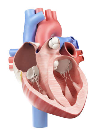 cross-section illustration of the human heart